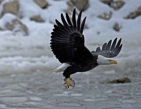 Hungry Eagle by Donna Caplinger