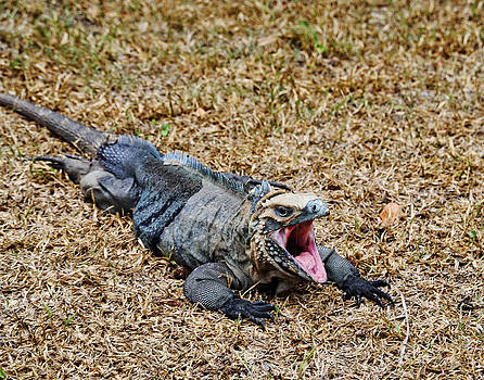 Hungry Iguana by Al Perry