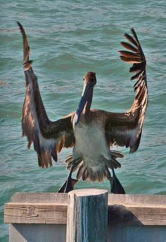 Mae Wertz - Hungry Pelican