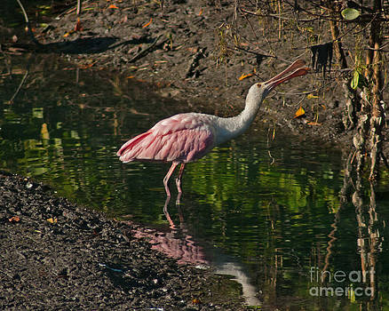 Stephen Whalen - Hungry Pink Spoonbill
