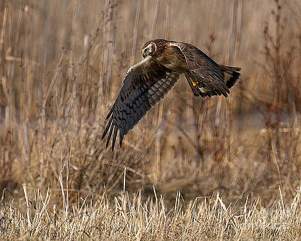 Hunting Harrier by Craig Leaper