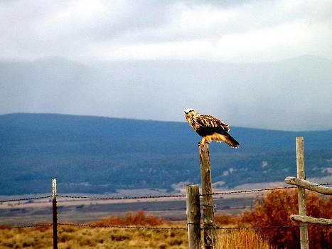 Hunting Hawk by Misty Ann Brewer