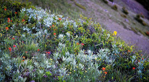 Ronda Broatch - Hurricane Hill Wildflowers
