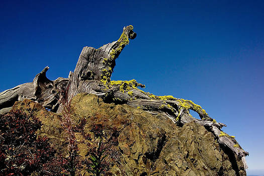 Hurricane Ridge Stump by Greg Reed