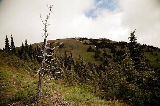 Hurricane Ridge Tree by Alicia Lockwood