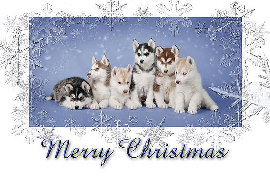Waldek Dabrowski - Husky  puppies Christmas card