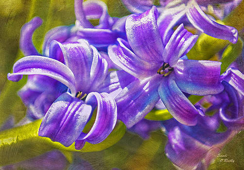 Hyacinth Flower Duo  by Sandi OReilly