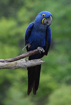 Hyacinth Macaw by Kari Filipi