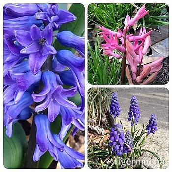 Hyacinths. Blooming Today! #flower by Teresa Mucha