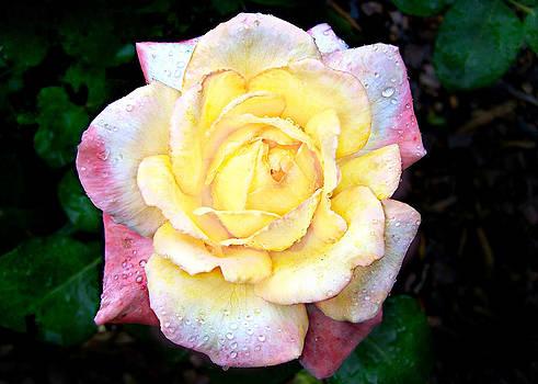 Hybrid Tea Rose cultivator by William Tanneberger