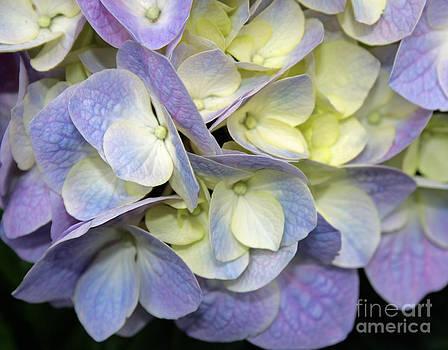 Hydranga Blossom by Kathy DesJardins
