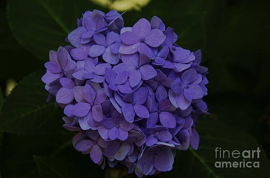 Dale Powell - Hydrangea Blooming in October