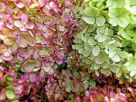 Dee Flouton - Hydrangea Blooms