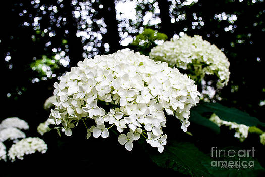 Hydrangea Blossoms  by Jinx Farmer