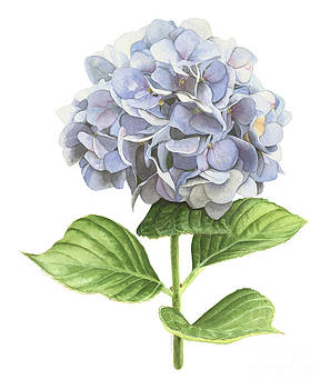 Hydrangea by Elizabeth R Smith