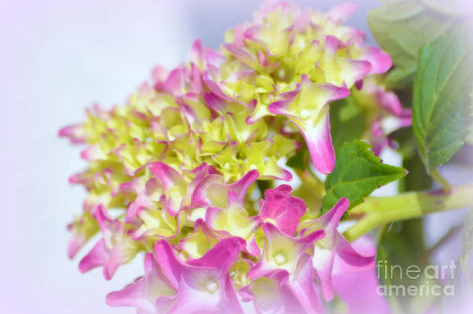 Susanne Van Hulst - Hydrangea Flower