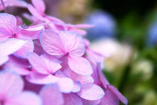 Veronica Vandenburg - Hydrangea in Pastels