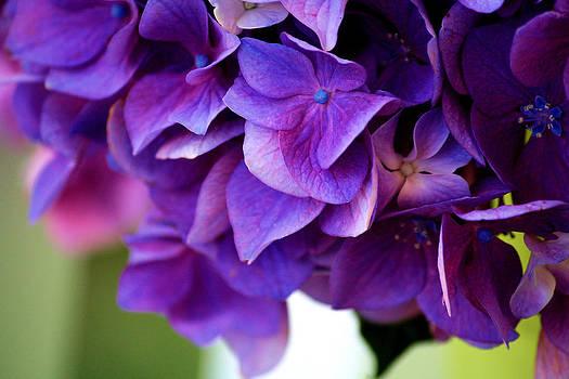 Hydrangea  by Karen M Scovill