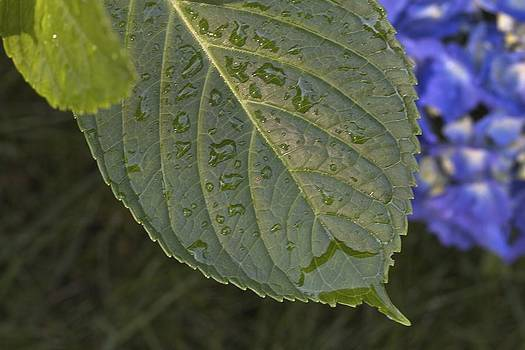 Hydrangea Leaf by Jim Gillen