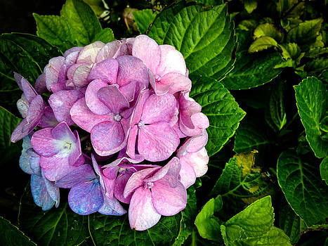 Hydrangea Singapore Flower by Donald Chen