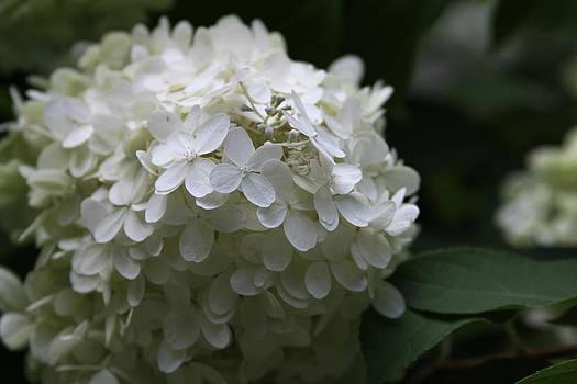Hydrangea White by Donna Betancourt