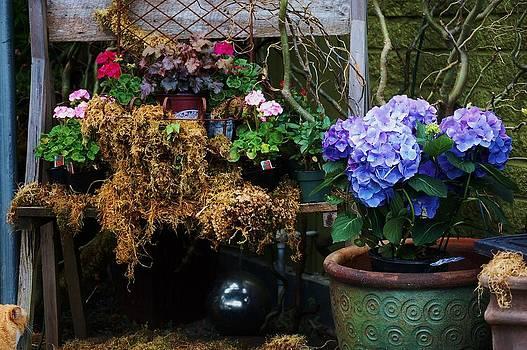Hydrangeas by Helen Carson
