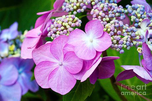 Hydrangeas in Full Bloom by Sharon Cuartero