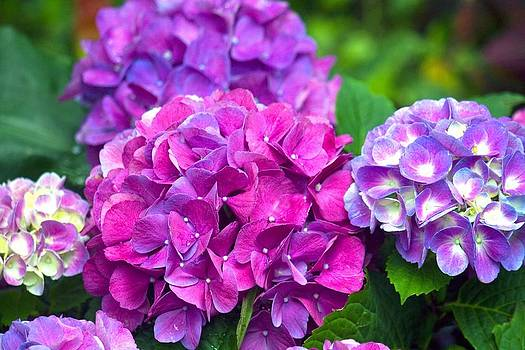 Veronica Vandenburg - Hydrangeas on Martha