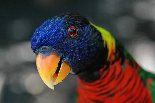 Hypnotized Lorikeet by Jay Campbell
