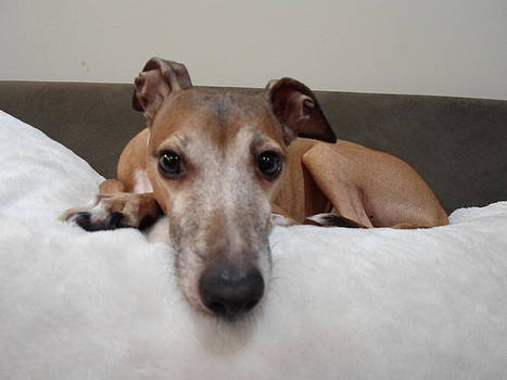 I am watching you - Dragon - Italian Greyhound by Santos Arellano