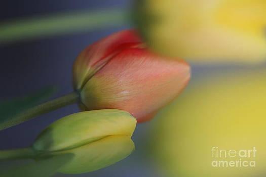 I do love Tulips . by  Andrzej Goszcz