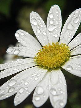 I love rainy Daisies by Marijo Fasano