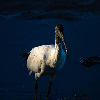 Ibis by Moonlight by Mr Bennett Kent