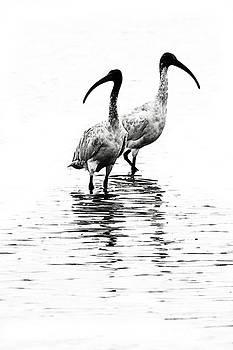 Ibis by David Benson