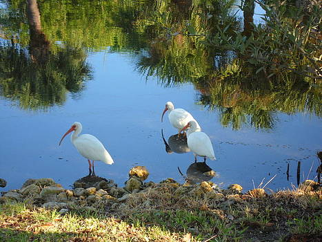 Ibis in three by Val Oconnor