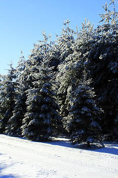 Ice Covered Pines by Kathy DesJardins