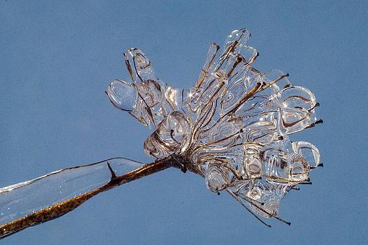 Ice on stems by Dawn Hagar