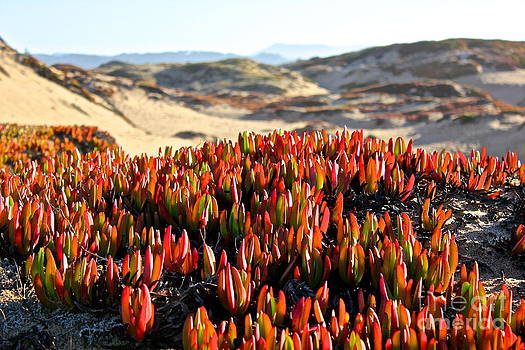 Ice Plant On Dunes by Shannan Peters