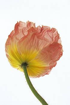 Susan Rovira - Iceland Poppy 1