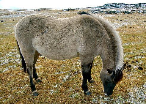HweeYen Ong - Icelandic Horse