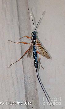 Ichneumon Wasp by Tracey Levine