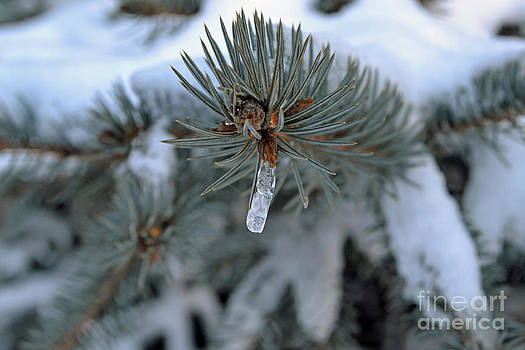 Icicle on Tree by Briella Danowski