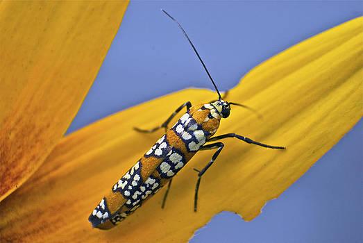 Michael Peychich - Ailanthus Webworm Moth