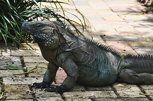 Iguana by Al Perry