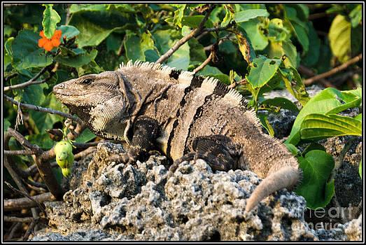 Iguana de la isla by Agus Aldalur