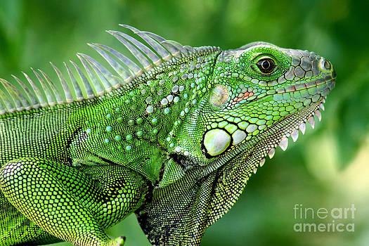Iguana by Francisco Pulido