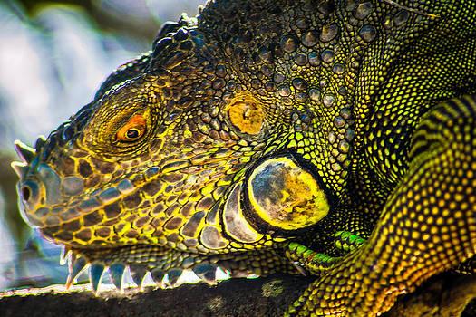 Iguana by Jose Mena