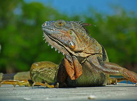 Juergen Roth - Iguana