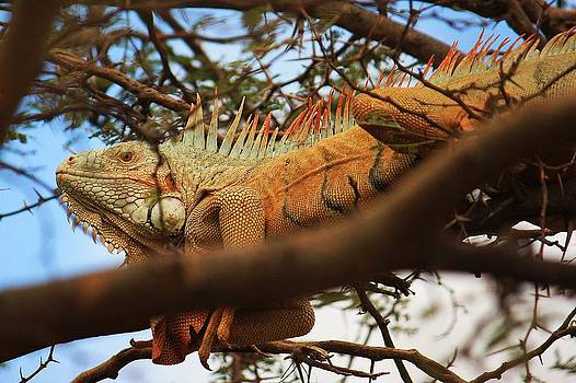 Iguana of St. Marrten by Richard Stillwell