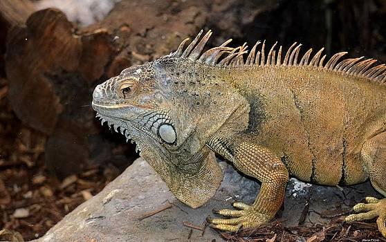 Maria Urso  - Iguana Profile